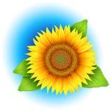 Blomma av solrosen Royaltyfri Bild