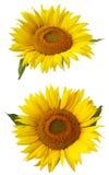 Blomma av solrosen som isoleras på en vit bakgrund royaltyfri bild