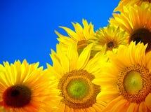Blomma av solrosfältet Arkivbild