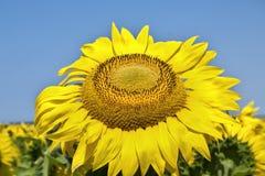 Blomma av Sun Royaltyfria Bilder
