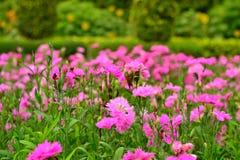 Blomma av Thailand Arkivfoto