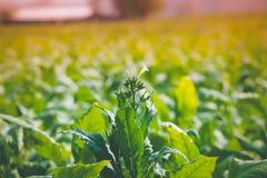 Blomma av tobak fotografering för bildbyråer