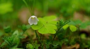 Blomma av trefoil Arkivfoto