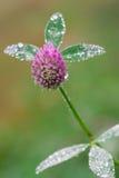 Blomma av Trifolium Arkivfoton