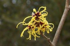 Blomma av trollhasslet i tidig vår Royaltyfria Bilder