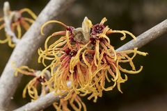 Blomma av trollhasslet i tidig vår Royaltyfri Foto