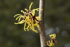 Blomma av trollhasslet i tidig vår Royaltyfria Foton