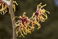Blomma av trollhasslet i tidig vår Arkivfoto