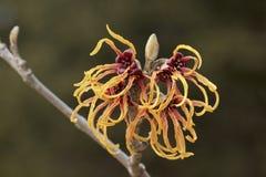 Blomma av trollhasslet i tidig vår Fotografering för Bildbyråer