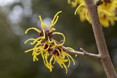 Blomma av trollhasslet i tidig vår Arkivfoton