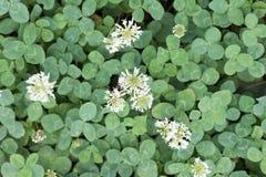 Blomma av växt av släktet Trifolium royaltyfria bilder
