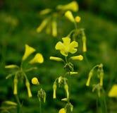 Blomma av växt av släktet Trifolium Arkivfoto