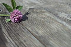 Blomma av växt av släktet Trifolium på en trätabell Royaltyfri Bild