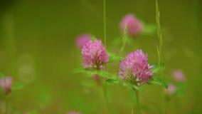 Blomma av v?xten av sl?ktet Trifolium stock video