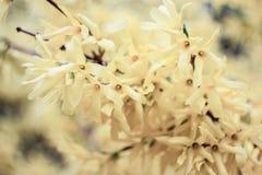 Blomma av vanilj Fotografering för Bildbyråer
