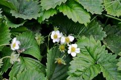 Blomma av Victoria Royaltyfri Foto