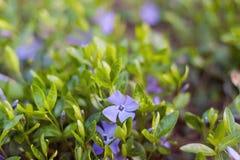 Blomma av violett f royaltyfri fotografi