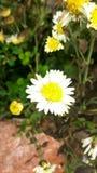 blomma av vit Fotografering för Bildbyråer