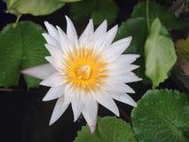 blomma av vit lotusblomma Royaltyfri Foto