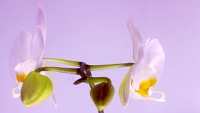 Blomma av vita orkidér arkivfilmer