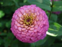 Blomma av zinniaen royaltyfri bild