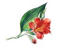 Blomma banch av röd Alstroemeria, den stora blommande blomningen, den lilla knoppen, enormt grönt blad Hand dragen vattenfärgillu vektor illustrationer