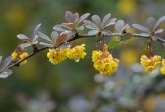 Blomma barberryen i regnet arkivfoton