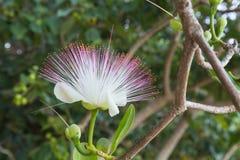 Blomma Barringtonia som är asiatica på naturlig suddig grön backgrou arkivbild