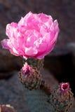 Blomma Beavertail röd wild ökenkaktus royaltyfria bilder