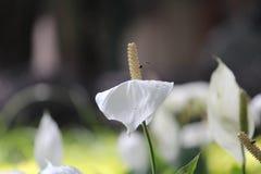 Blomma & bi Arkivfoton