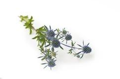blomma blå thistle Arkivbilder