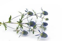 blomma blå thistle Royaltyfria Bilder