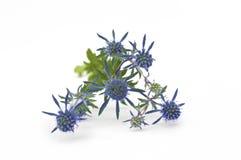 blomma blå thistle Royaltyfri Foto