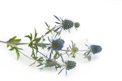 blomma blå thistle Arkivfoton