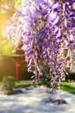 Blomma blå wisteria Fotografering för Bildbyråer
