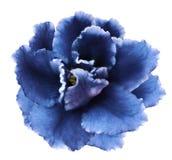 Blomma blåa violets på en vit isolerad bakgrund med den snabba banan inga skuggor Closeup för design arkivbilder
