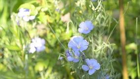 Blomma blått lin i trädgården stock video