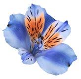 Blomma blått-röd alstroemeria på en vit isolerad bakgrund med den snabba banan closeup Inget skuggar För design arkivbild