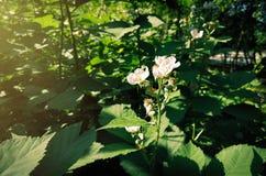 Blomma Blackberry buske Fotografering för Bildbyråer