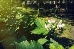 Blomma Blackberry buske Arkivfoto