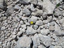 Blomma bland stenar royaltyfria bilder
