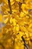 blomma blommaforsythiaforthysia Royaltyfri Bild
