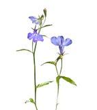 Blomma blommalobelia Arkivfoton