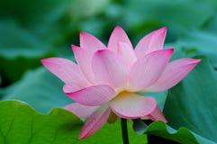 blomma blommalotusblomma Arkivbild