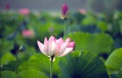 blomma blommalotusblomma royaltyfri fotografi