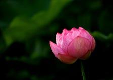 blomma blommalotusblomma Royaltyfria Bilder