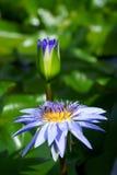 blomma blommalotusblommadamm Fotografering för Bildbyråer