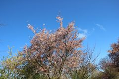 Blomma blommande japan Sakura With Blue Sky royaltyfria foton