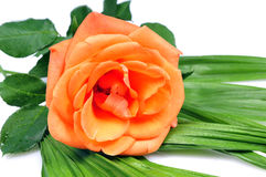 blomma blommaorange Arkivfoto