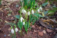 Blomma blommar vita sn?droppar i v?rtr?dg?rd royaltyfri foto